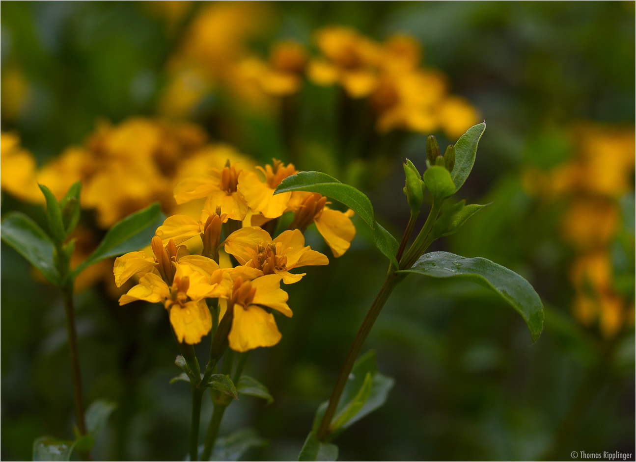 Glänzende Studentenblume (Tagetes lucida)