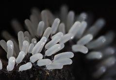 Glänzendes Fadenkeulchen (Stemonitopsis Typhina)