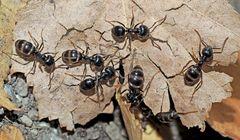Glänzendschwarze Holzameisen (Lasius fuliginosus) - Fourmis qui portent le nom Lasius fuliginosus.