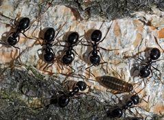 Glänzendschwarze Holzameisen (Lasius fuliginosus) mit Rindenlaus. - Fourmis noires des bois.