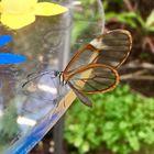 Glas-Schmetterling (giftig)