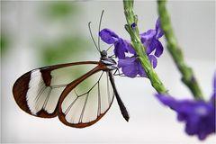 Glasflügler an blauer Blüte
