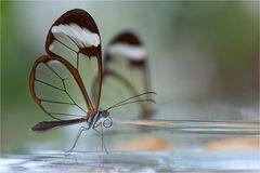 Glasflügler an einer Glasschale