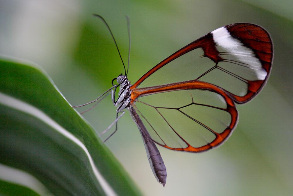 Glasflügler beim Ansitz an einer Pflanze
