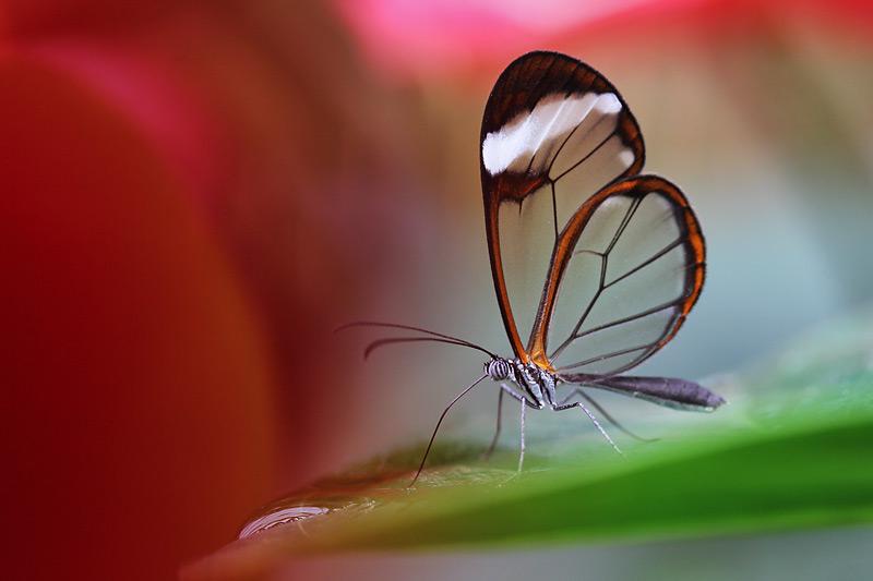 Glasflügler (greta oto) im Farbenland
