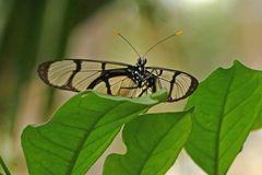 Glasflügler (Nymphalidae, Danainae, Ithomiini, Methona confusa)