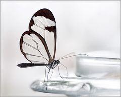 Glasflügler...im wahrsten Sinne des Wortes
