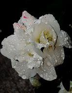 Glasklare Tropfen auf leuchtendem Weiß