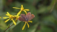 """Glaubt man dem Ulmer Naturfürer """"Schmetterlinge,die Tagfalter Deutschlands""""..."""