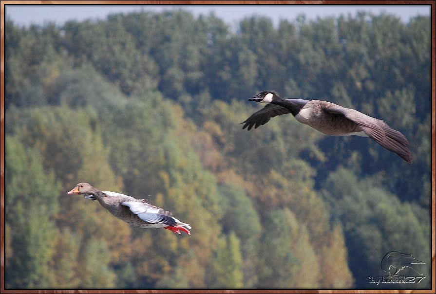 Gleitflug von Grau- und Canadagans