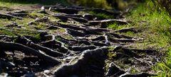 Glendalough Roots