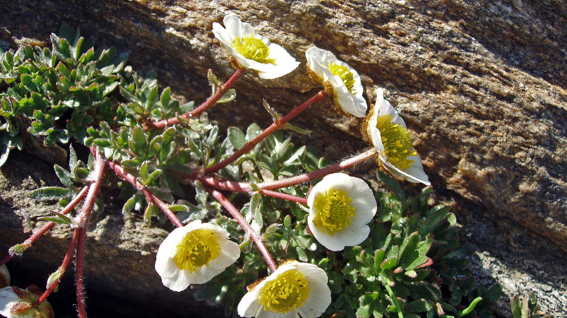Gletscherhahnenfuß -  Ranunculus glacialis im unteren Bereich des Allalingletschers ...