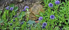 Globularia cordifolia - Herzblättrige Kugelblume in meinem Alpinum