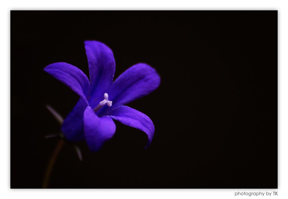 Glockenblume (Campanula)