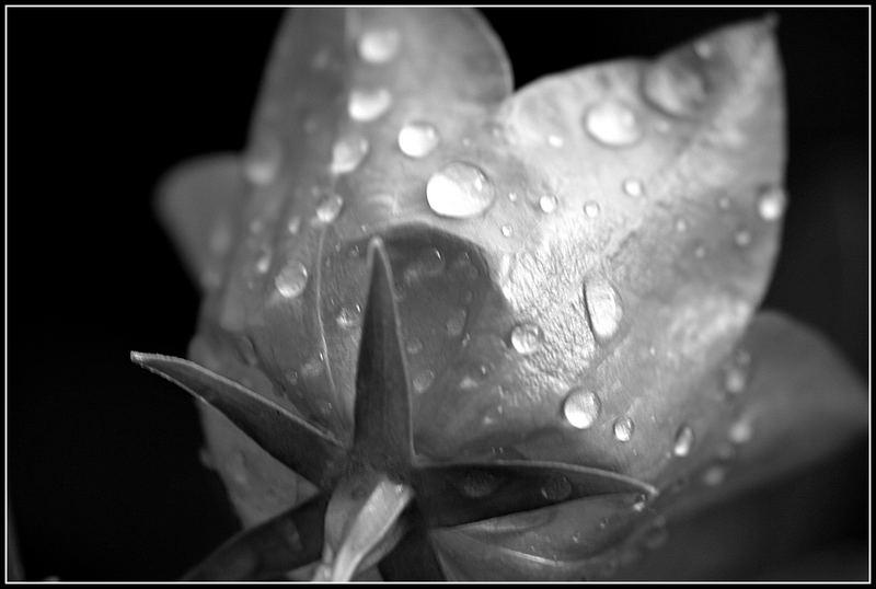 Glockenblume im Regen 2