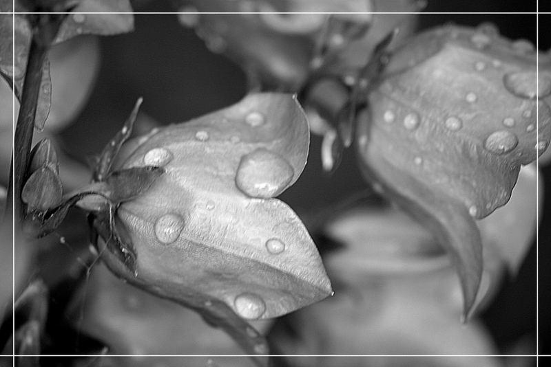 Glockenblume im Regen