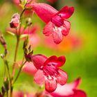 Glockenblume zum Muttertag
