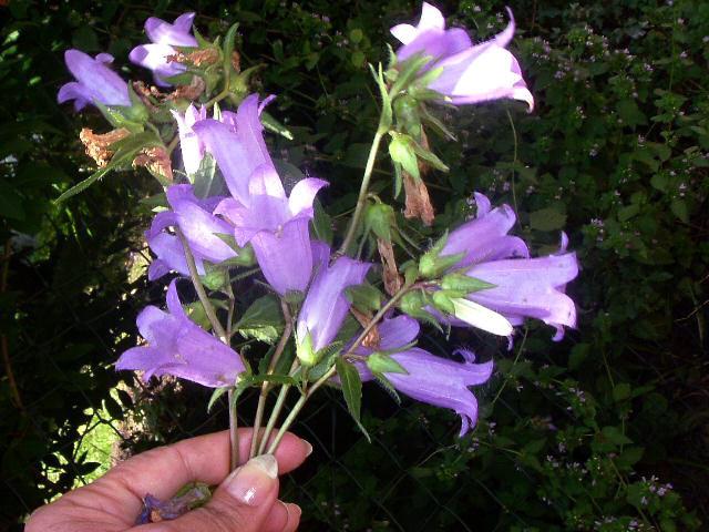 Glockenblumen im Sieveringer Wienerwald