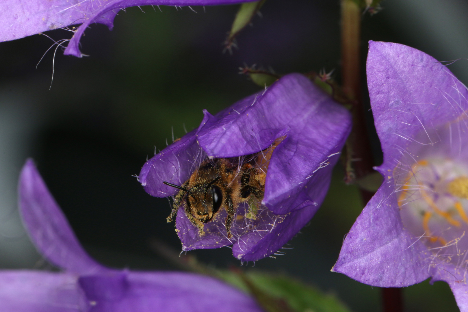 Glockenblumen-Sägehornbiene Melitta haemorrhoidalis