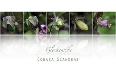GLOCKENREBE II