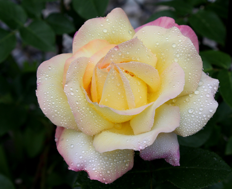 gloria dei foto bild pflanzen pilze flechten bl ten kleinpflanzen rosen bilder. Black Bedroom Furniture Sets. Home Design Ideas
