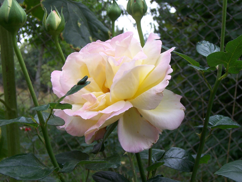 Gloria Dei in voller Blüte