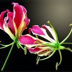 Gloriosa, Ruhmeskrone ( Gloriosa superba ) -2-