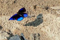 Glorious Purplewing, Eunica sophonisba