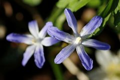 Glory-of-the-snow (Chionodoxa)