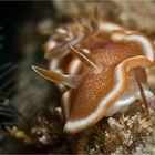 Glossodoris ruformaginata