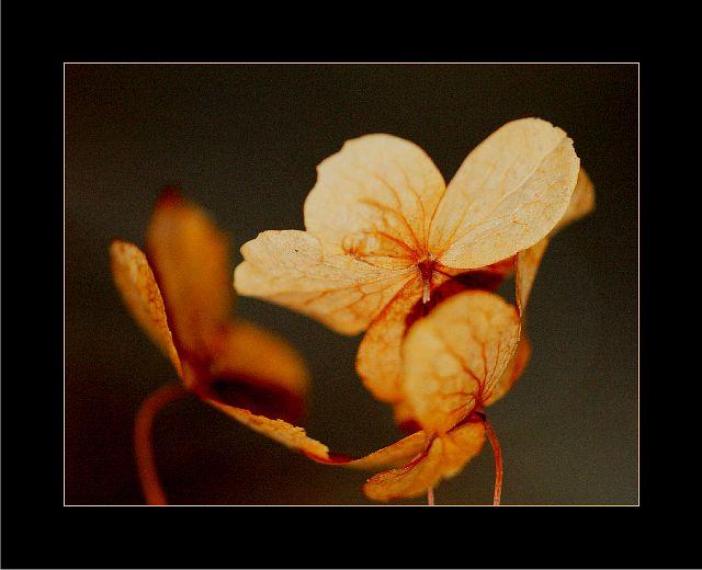Glowing Hortensia