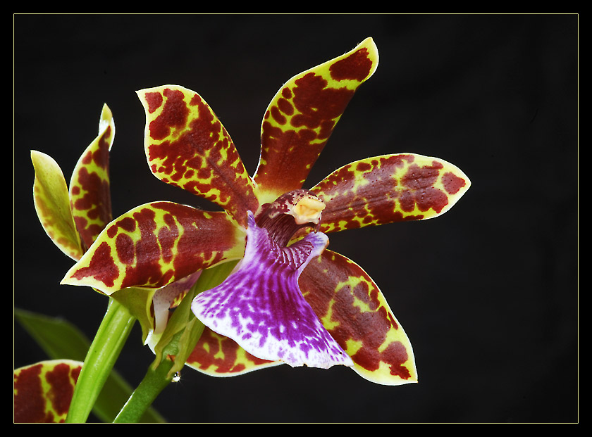 Glowing Orchid