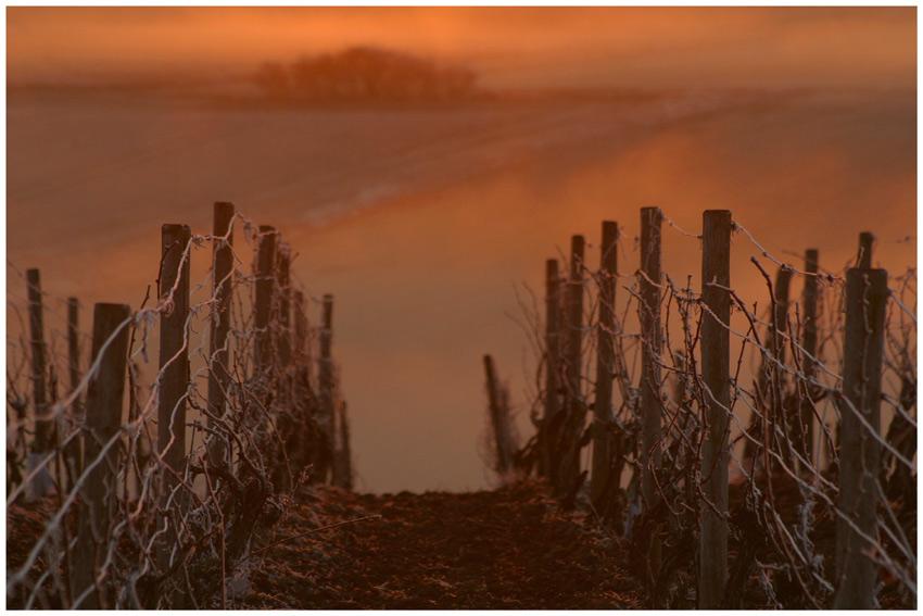 Glowing vineyard
