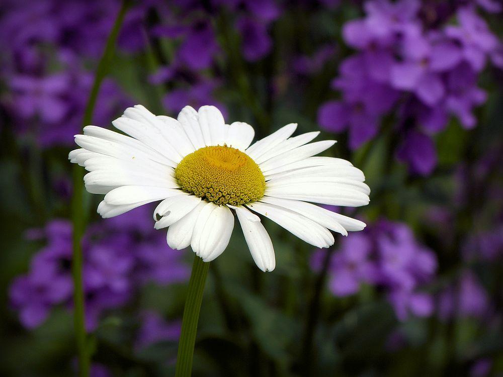 Glowing white daisy