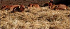 Glückliche Berliner Kühe
