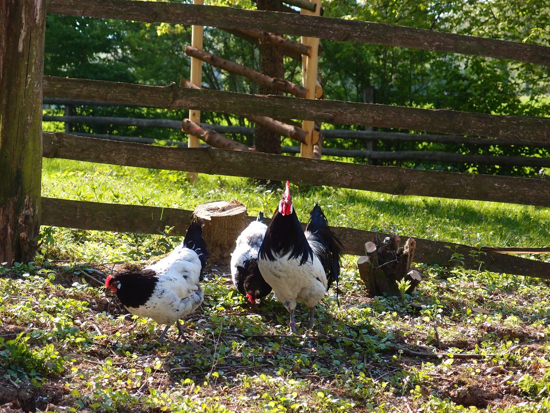 Glückliche Hühner...