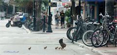 Glückliche Hühner auf Key West