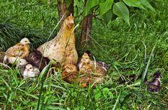 Glückliche Hühner im Pfarrhof von Übelbach!