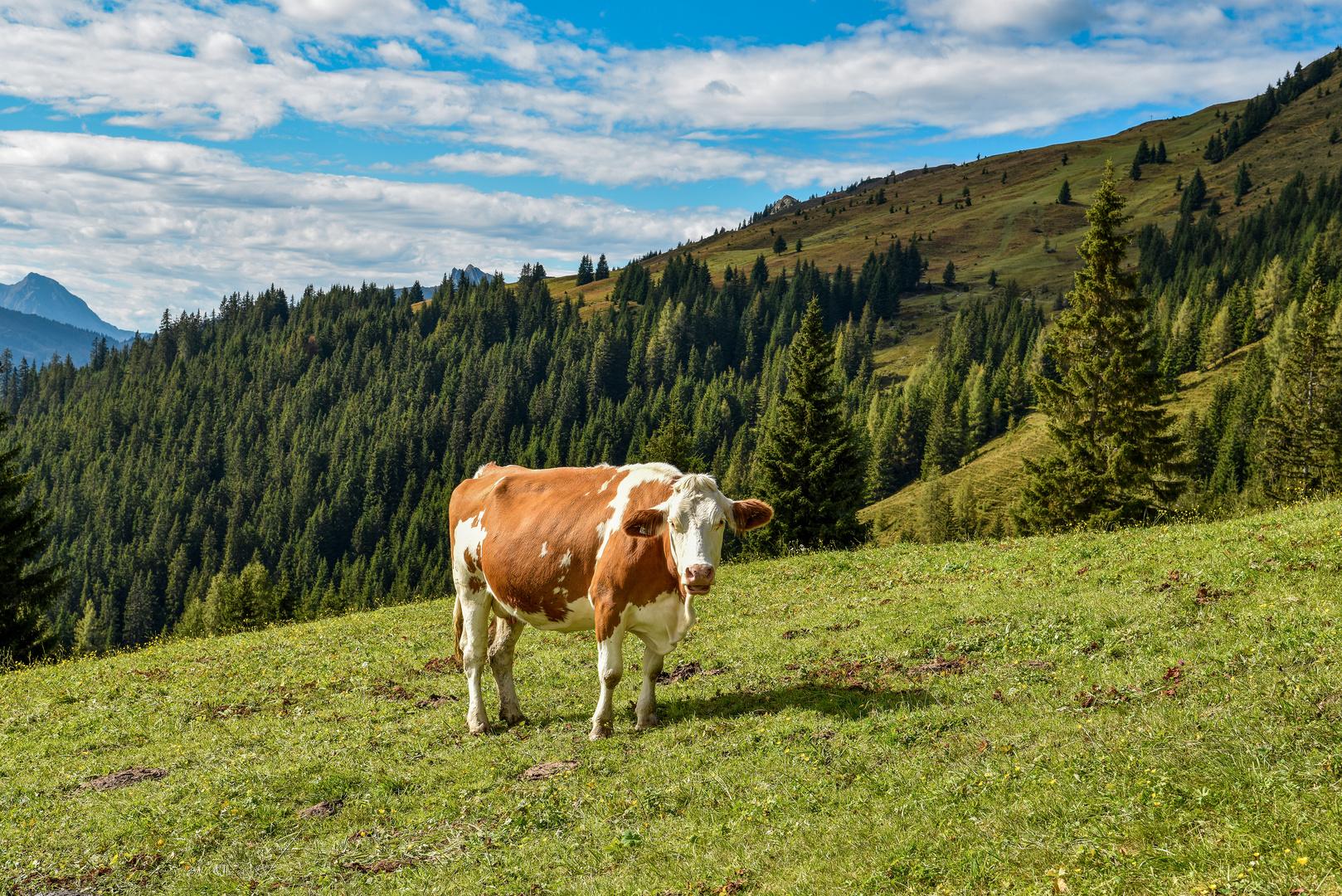 Glückliche Kühe 04
