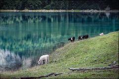 """""""glückliche Kühe am hinteren Gosausee"""""""