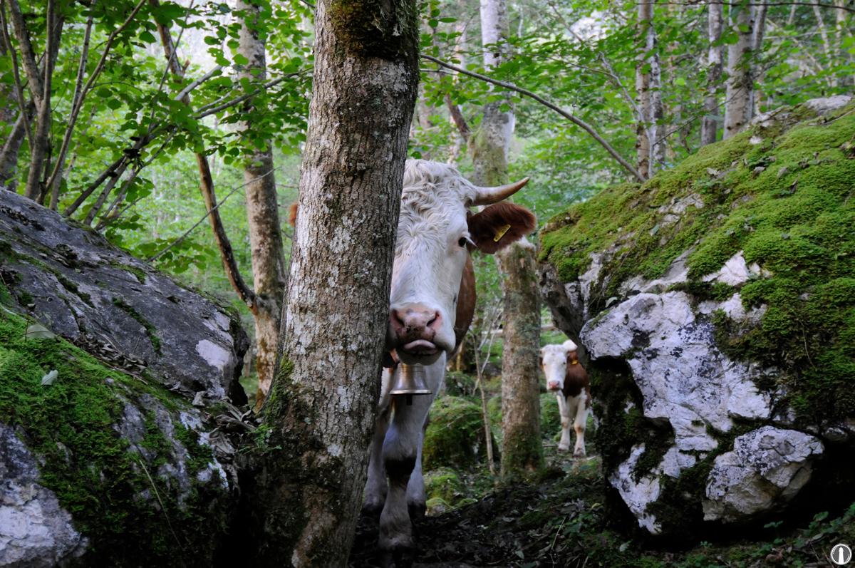 Glückliche Kühe im Wald