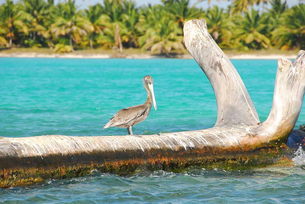 Glücklicher Pelikan