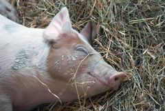 Glückliches Schweinchen