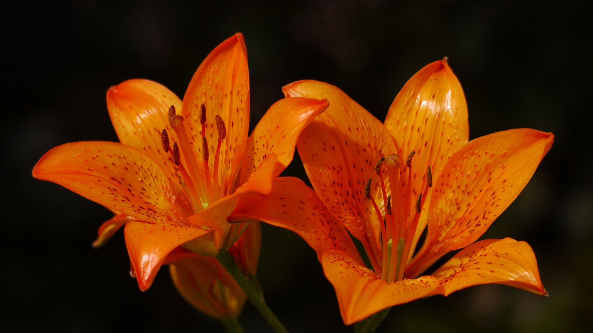 Glühende Lilien
