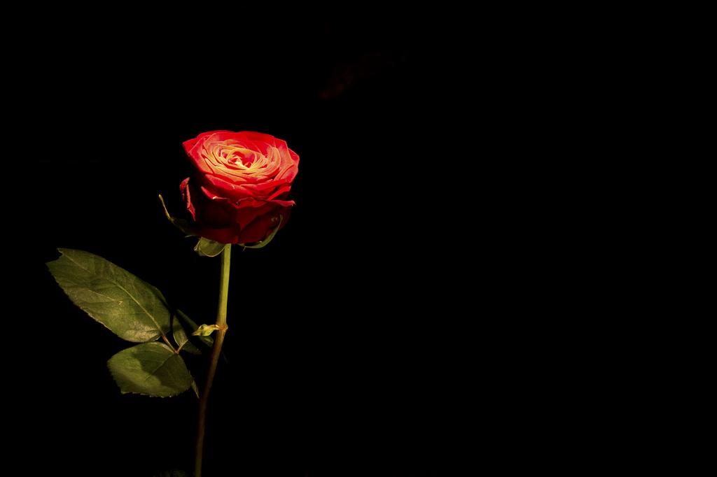Glühende Rose