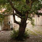 Gnom's tree.