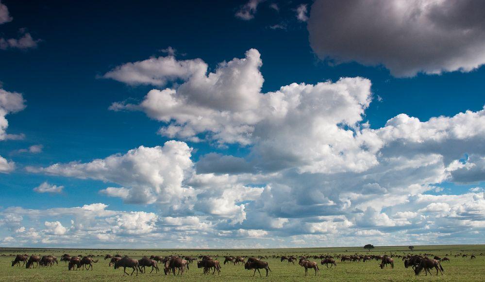 Gnuherde in der Serengeti