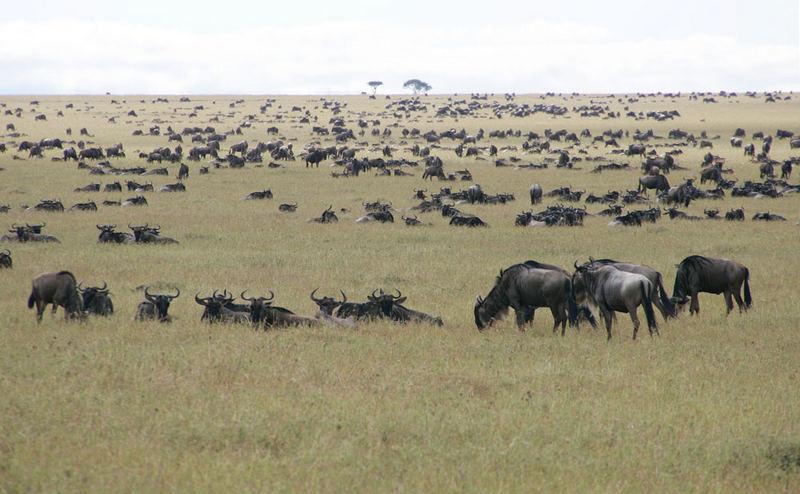 Gnus in der Masai Mara