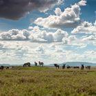 Gnus und Zebras in der Serengeti
