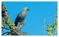 Go-away-Bird